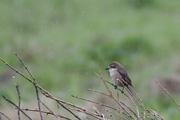 初夏の信州の鳥たち