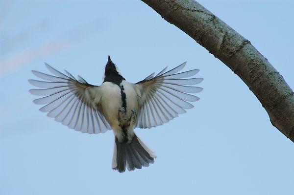 羽ばたくシジュウカラ