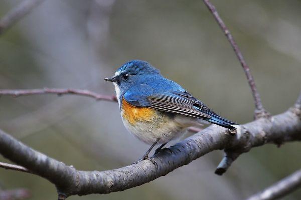 ルリビタキ ルリビタキ 冬の公園の一番の人気者は、ルリビタキでしょう。ルリ色の羽が... 九羽の